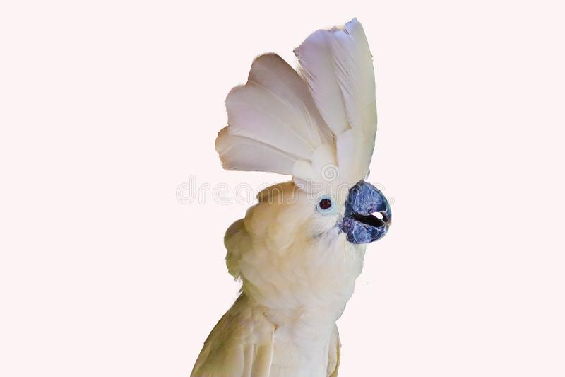 White -crested cockatoo isolated stock photo