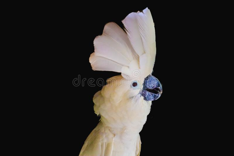 White -crested cockatoo isolated stock photography