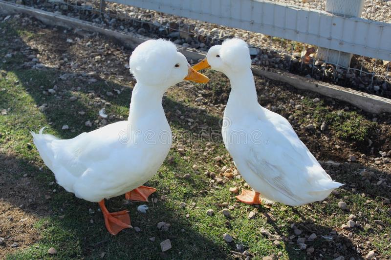 White Crested ducks royalty free stock images