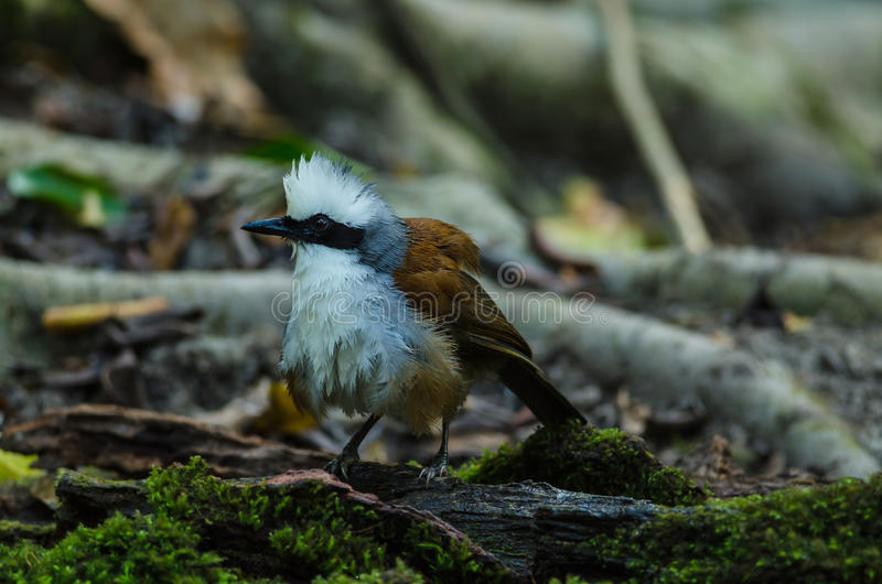 White-crested laughing thrush & x28;Garrulax leucolophus& x29;. In nature royalty free stock photos