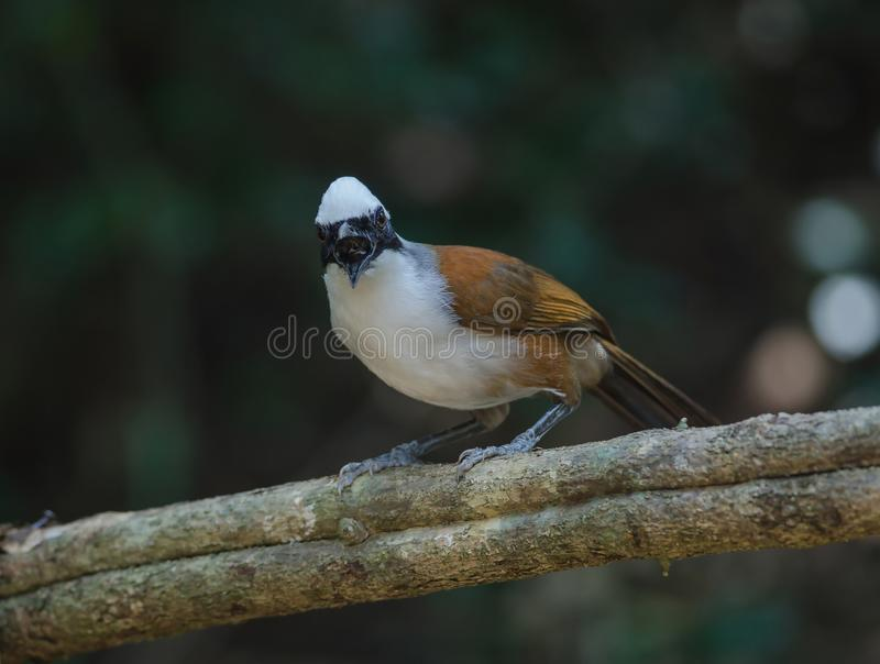 White-crested laughing thrush Garrulax leucolophus. In nature, Thailand stock images