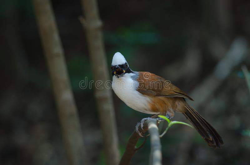 White-crested laughing thrush Garrulax leucolophus. In nature, Thailand royalty free stock photos