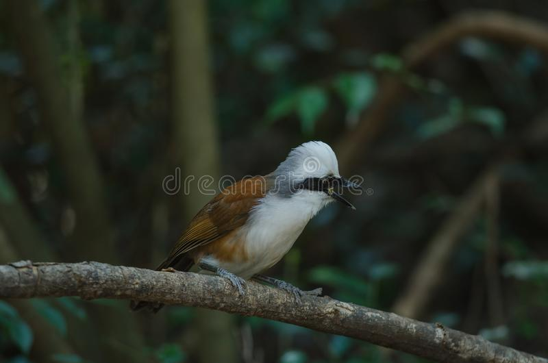 White-crested laughing thrush Garrulax leucolophus. In nature, Thailand royalty free stock image