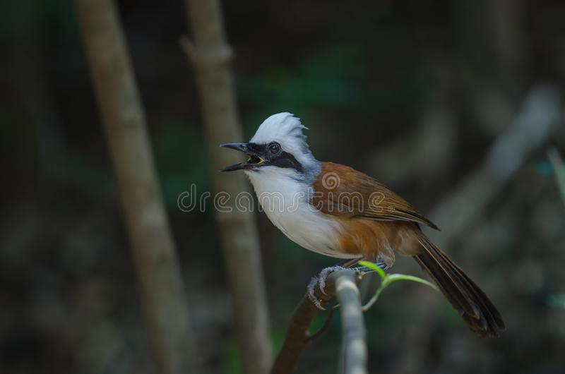 White-crested laughing thrush Garrulax leucolophus. In nature, Thailand stock photography