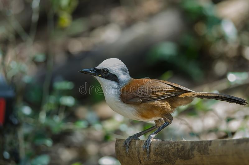 White-crested laughing thrush Garrulax leucolophus. In nature, Thailand royalty free stock photography