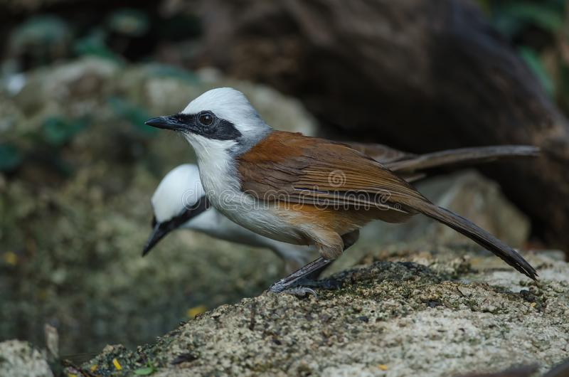 White-crested laughing thrush Garrulax leucolophus. In nature, Thailand royalty free stock images