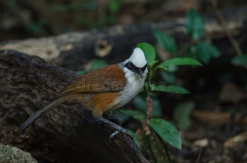 White-crested laughing thrush Garrulax leucolophus. In nature, Thailand stock image
