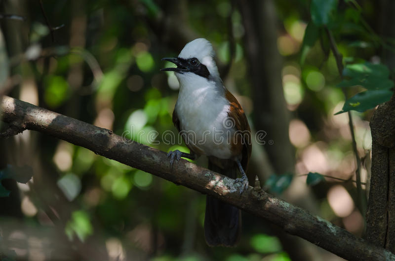 White-crested laughing thrush Garrulax leucolophus. In tropical forest, Thailand royalty free stock images