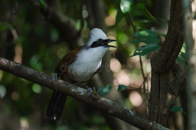 White-crested laughing thrush Garrulax leucolophus. In tropical forest, Thailand stock photography