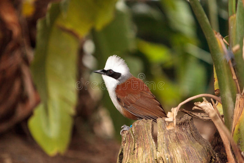 White-crested laughingthrush called Garrulax leucolophus. Perches in trees and hunts along the ground for food stock images