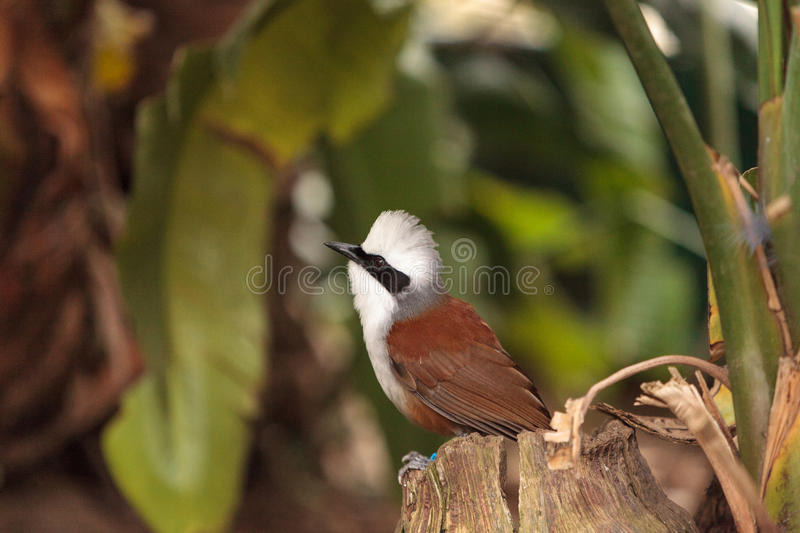 White-crested laughingthrush called Garrulax leucolophus. Perches in trees and hunts along the ground for food royalty free stock images