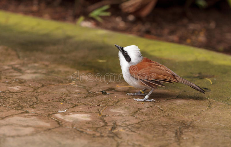 White-crested laughingthrush called Garrulax leucolophus. Perches in trees and hunts along the ground for food royalty free stock photography