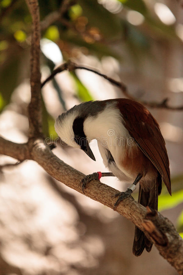 White-crested laughingthrush called Garrulax leucolophus. Perches in trees and hunts along the ground for food stock image