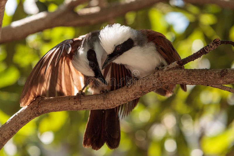 White-crested laughingthrush called Garrulax leucolophus. Perches in trees and hunts along the ground for food stock photography