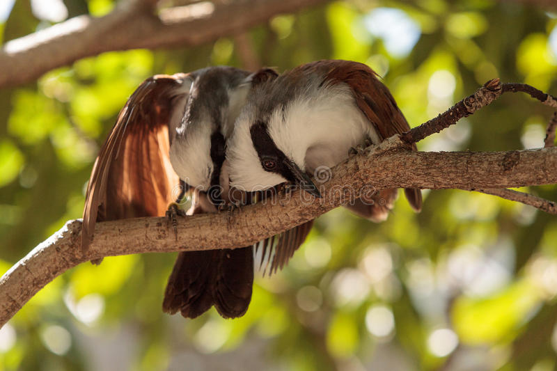 White-crested laughingthrush called Garrulax leucolophus. Perches in trees and hunts along the ground for food royalty free stock image