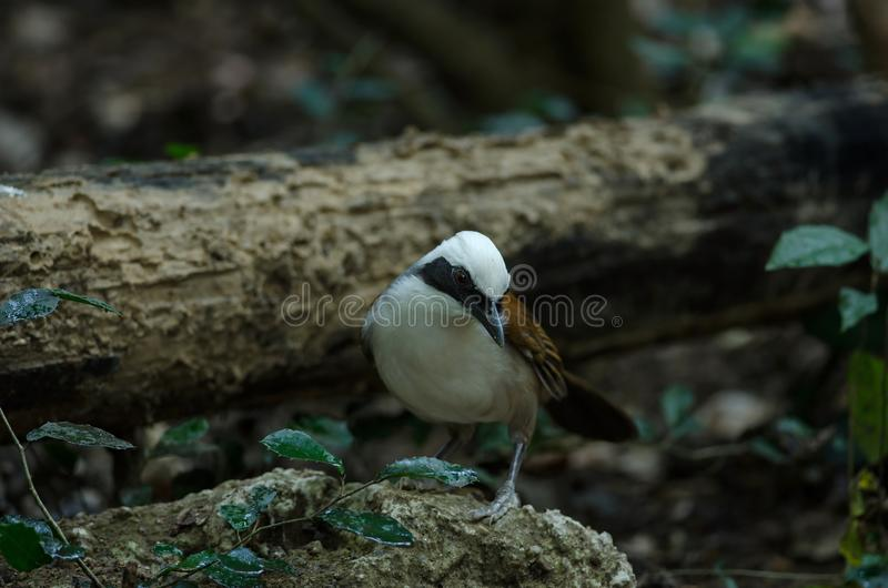 White-crested laughingthrush Garrulax leucolophus. Beautiful white-crested laughingthrush Garrulax leucolophus in forest Thailand royalty free stock photo
