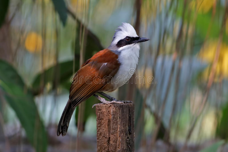 White-crested Laughingthrush Garrulax leucolophus Birds of Thailand. White-crested Laughingthrush Garrulax leucolophus Bird of Thailand royalty free stock images