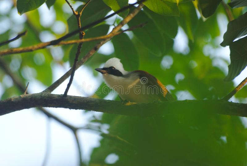White-crested Laughingthrush on the tree branch. Selective focus royalty free stock image