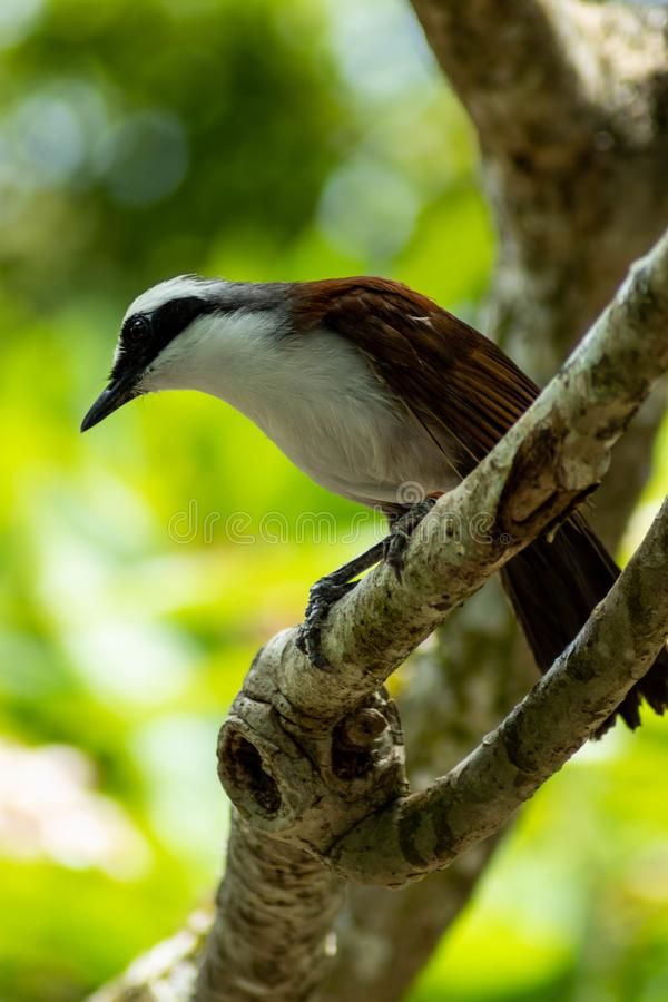 White-Crested Laughingthrush in Tree Looking Down. A stunning white-crested laughingthrush looks down while standing in a tree on a sunny day royalty free stock photo