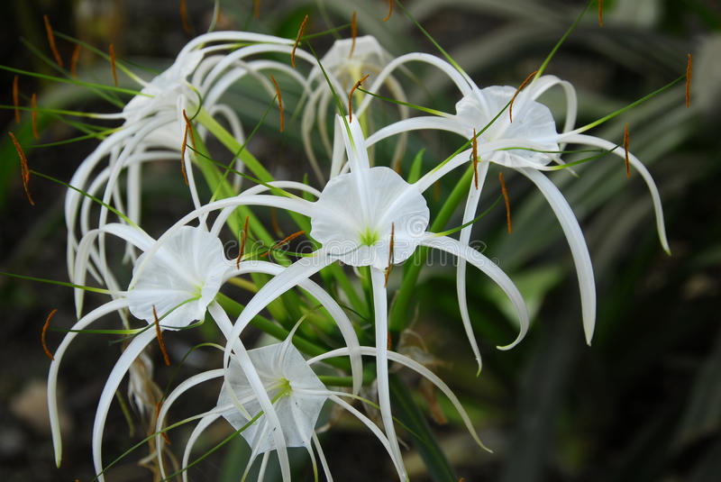 White crinum spiderlily Flower royalty free stock photography