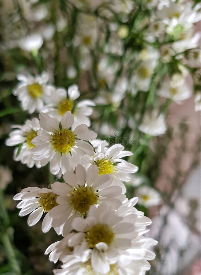 White crisantemun royalty free stock image