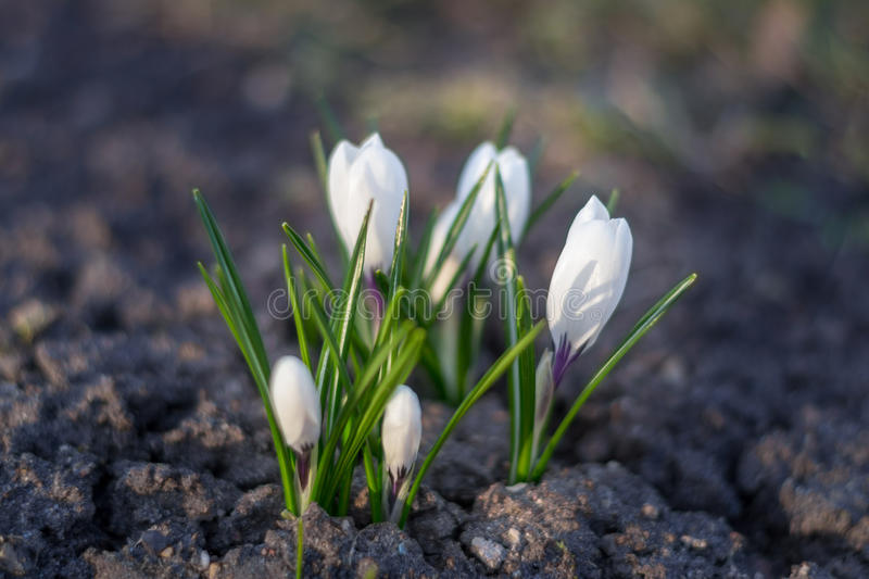 White crocus close up over empty ground in spring. royalty free stock photo