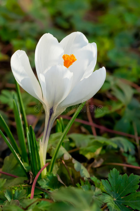 White crocus flower royalty free stock images
