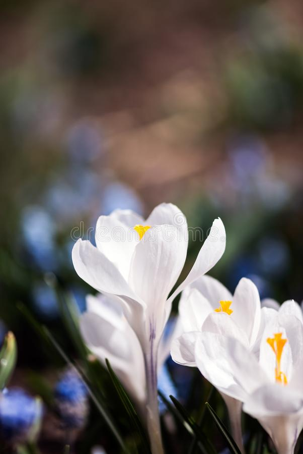 White crocus flower stock photo image of botanical 114796072 download white crocus flower stock photo image of botanical 114796072 mightylinksfo