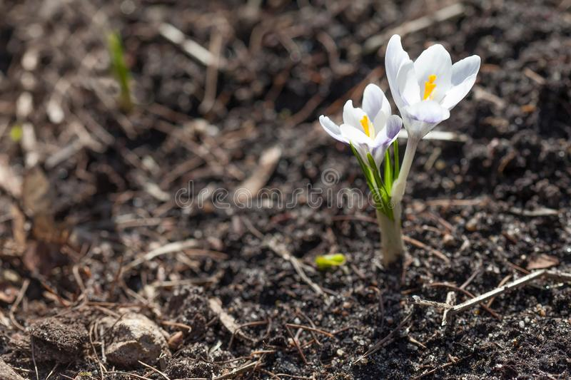 White crocus flowers on soft and blurry garden ground background. Shallow depth of field, selective focus. First spring royalty free stock photos
