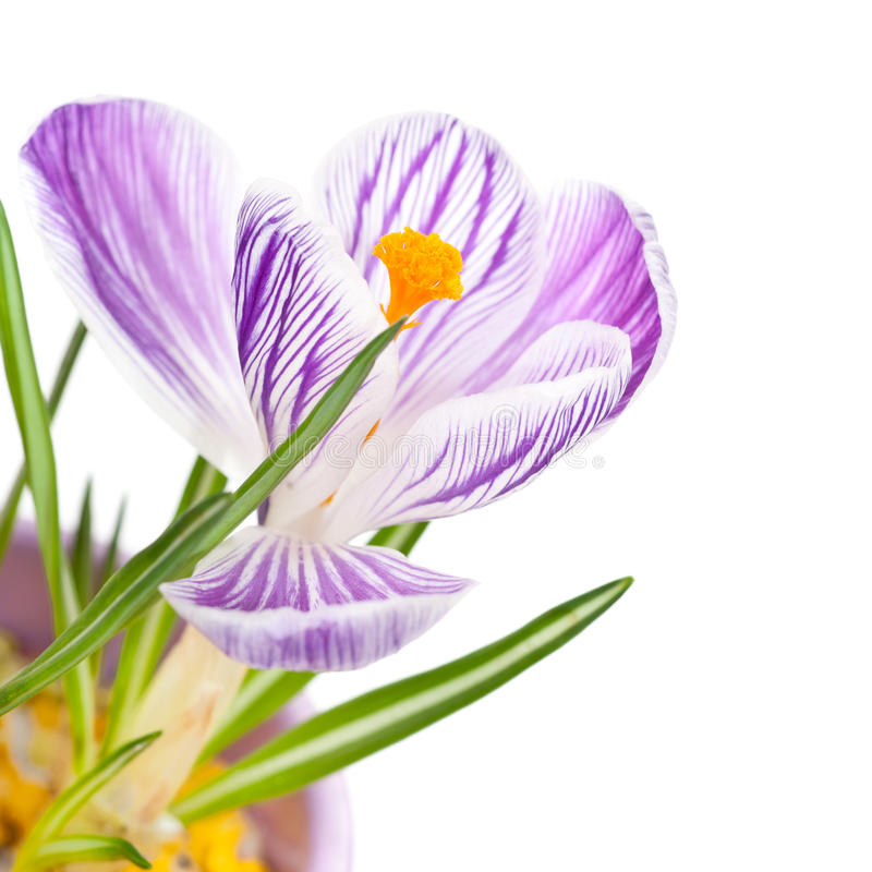 White crocus with purple stripes royalty free stock photo