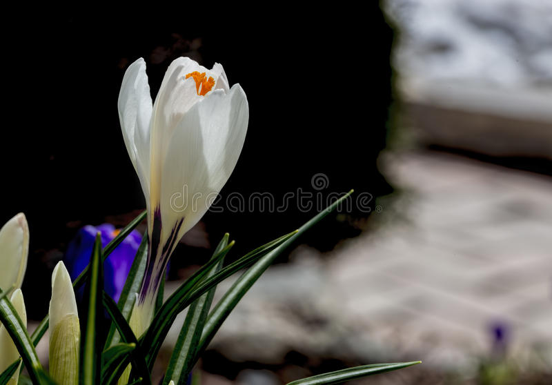 White crocus in the shade. Background stock photo
