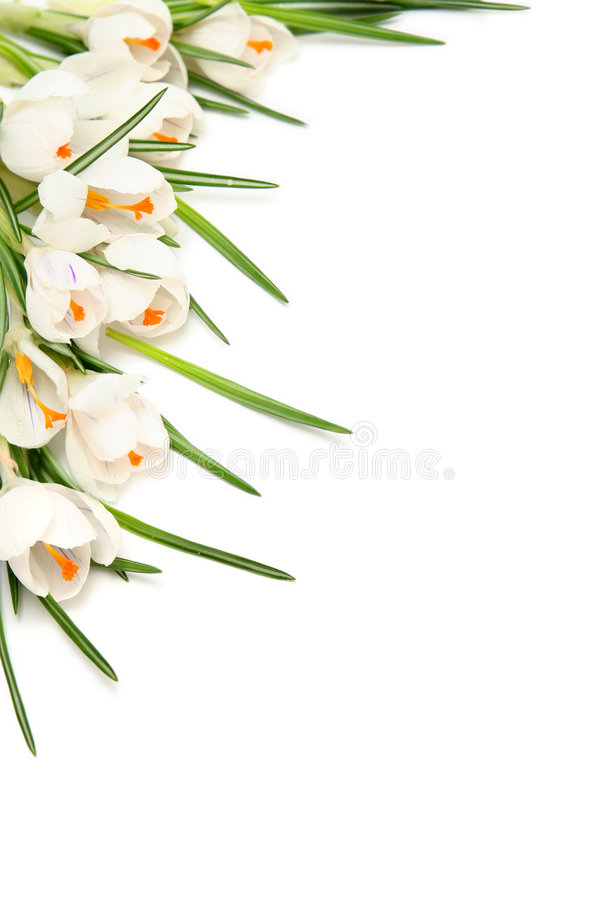 White crocus on white stock photos