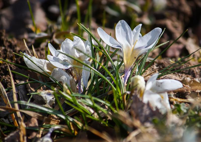 White crocuses in spring park. royalty free stock photography