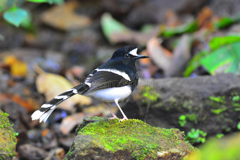 White-crowned Forktail bird. Beautiful black and white bird (White-crowned Forktail, Enicurus leschenaulti) standing on stone royalty free stock images