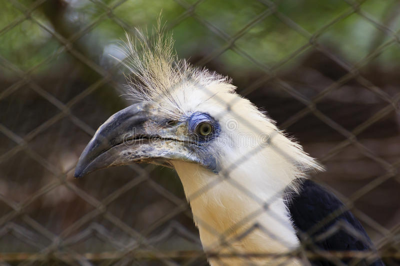 White-crowned hornbill in cage stock image