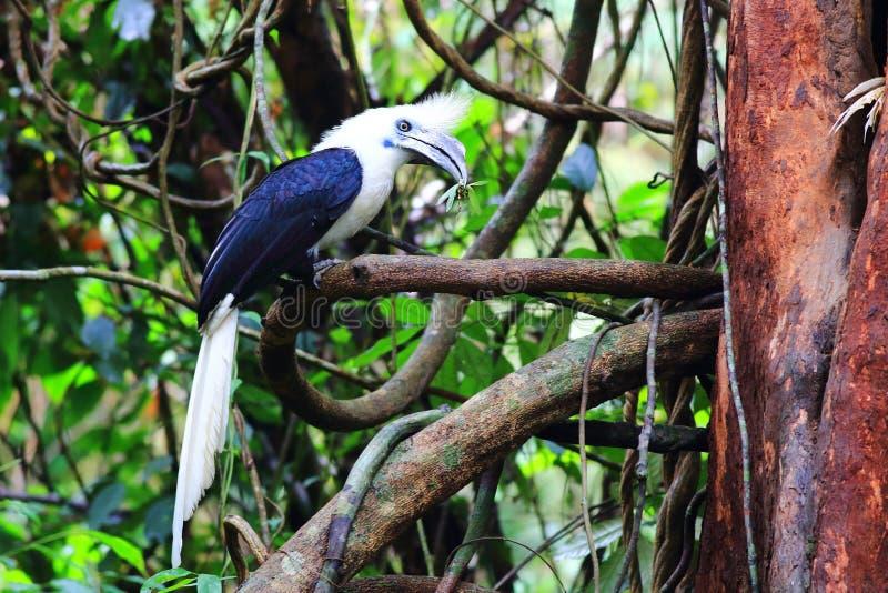White-crowned hornbill stock image