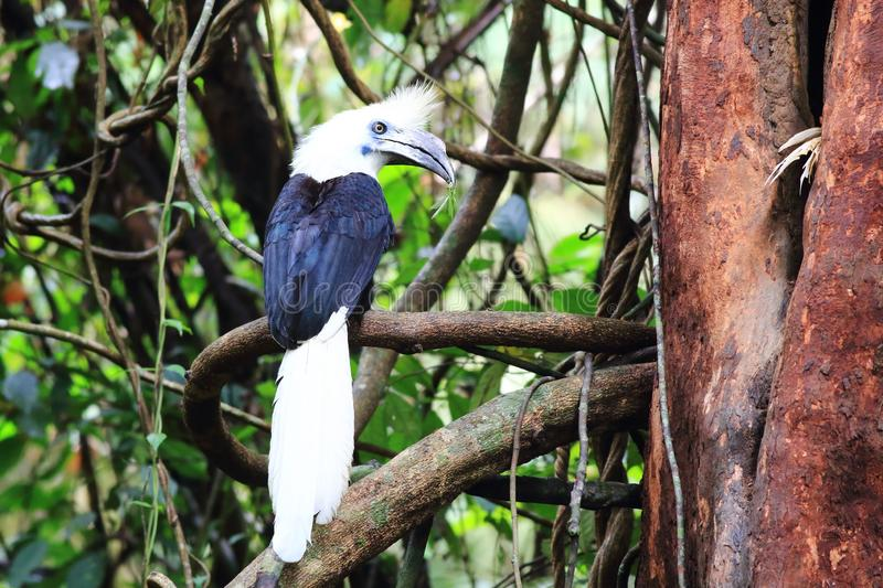 White-crowned hornbill royalty free stock photography