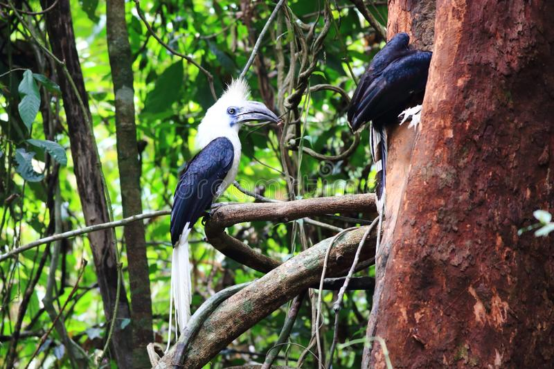 White-crowned hornbill stock photos