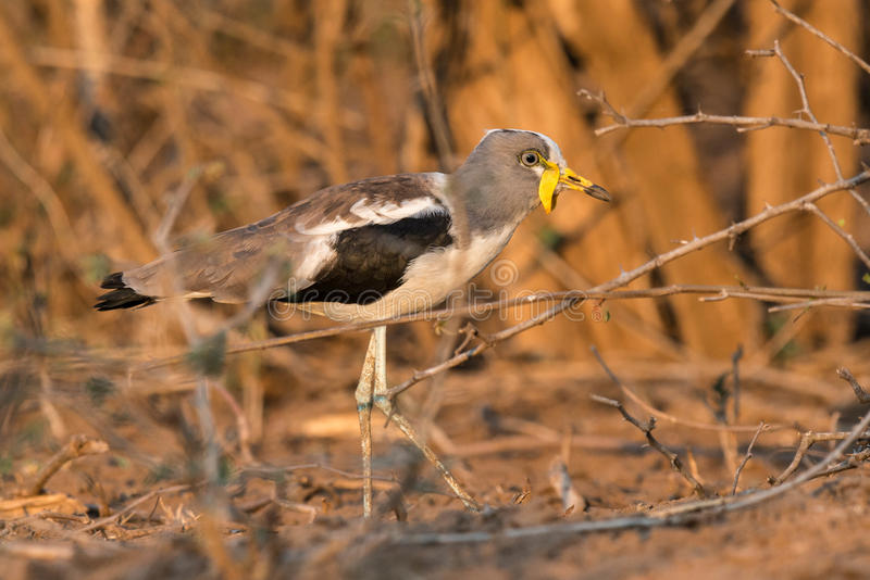 White Crowned Lapwing stock photography