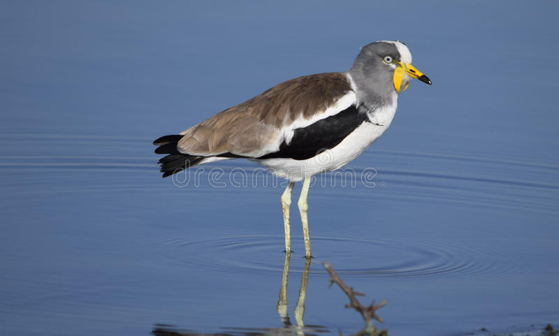 White-crowned Lapwing sunset dam Kruger park royalty free stock photography