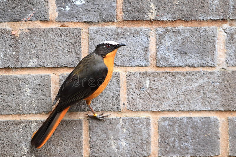 White-crowned robin-chat. The white-crowned robin-chat on the wall royalty free stock images