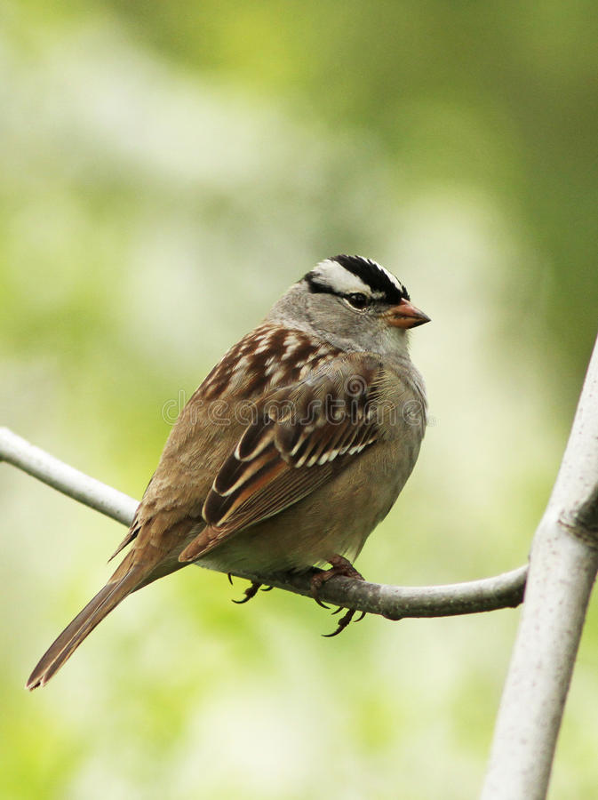Download White-crowned Sparrow stock image. Image of perched, outdoors - 28311417