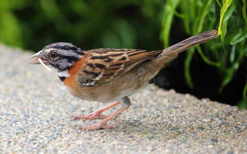 White crowned sparrow, beautiful bird in Costa Rica jungle during summer. White crowned sparrow, beautiful bird in Costa Rica jungle during a hot day in summer stock image