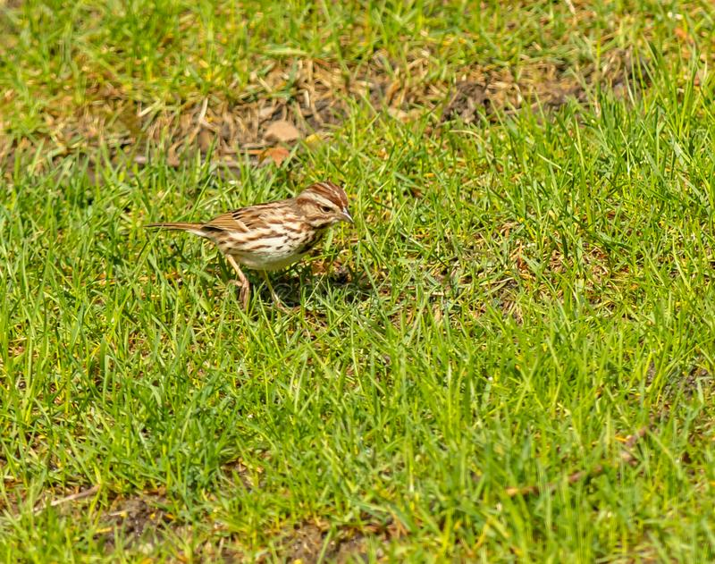 A White-Crowned sparrow looks for food. In a spring green grassy lawn stock photos