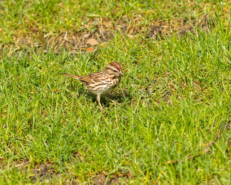 White-crowned sparrow looks for food. In a spring green grassy lawn royalty free stock photography