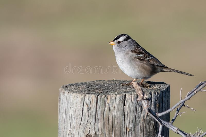 White-Crowned Sparrow Perched on a Wooden Post. Male White-Crowned Sparrow Perched on a Wooden Post royalty free stock photography