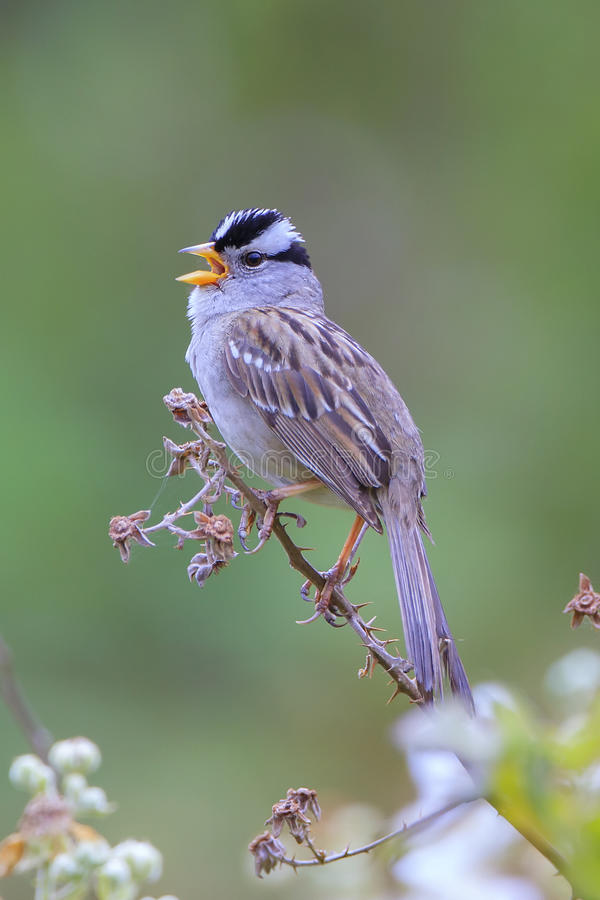 White-crowned Sparrow stock photos