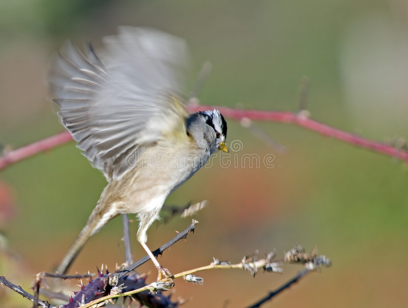 Download White Crowned Sparrow Taking Off Stock Photo - Image: 7395098
