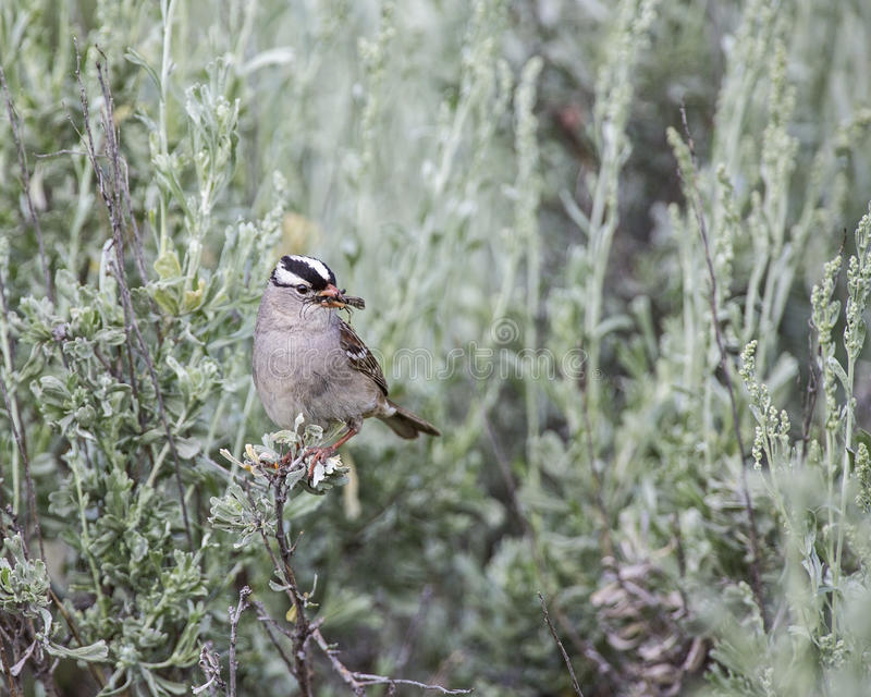 Download White-crowned Sparrow Zonotrichia Leucophrys Stock Image - Image: 34911711