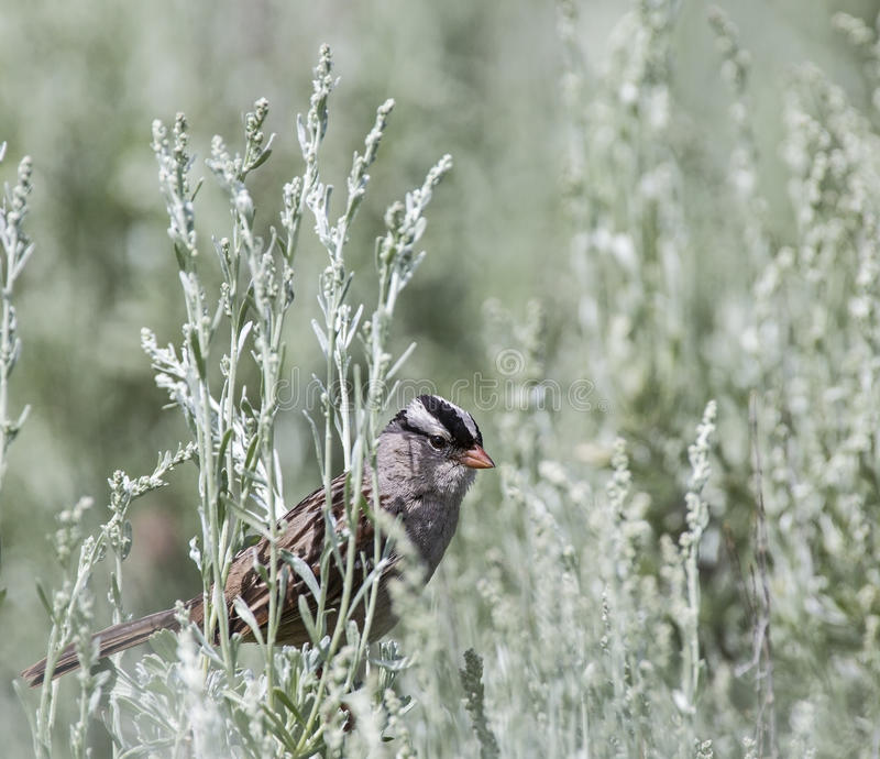White-crowned Sparrow Zonotrichia Leucophrys Royalty Free Stock Photo